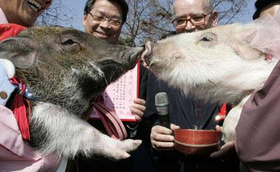 pigs wedding ceremony 49