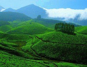 Tea_Gardens_at_Devikulam,_Munnar